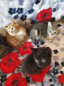 Adorable kittens mixed Maine coon