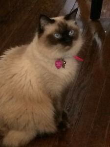 Beautiful female Rag Doll! Need to re-home