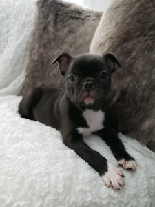[One left] French Bulldog x Boston Terrier [Frenchton] puppies