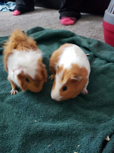 Guinea Pigs to give away