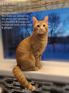 Orange Tabby Looking for a Forever Home