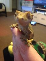 Created gecko