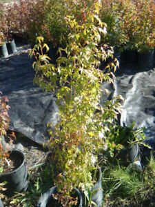 Sale: Green Japanese Maples