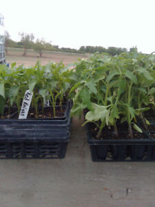 Tomato and pepper  plants .