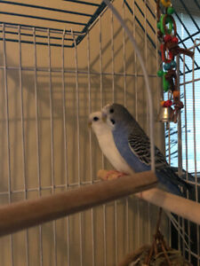 2 lovely parakeets who are best friends and need a new home