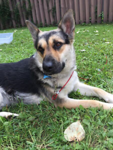 Paws for Love dog rescue has a 1 year shepherd X for adoption