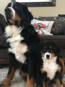 Ready to go Bernese Mountain Dog puppies for sale.