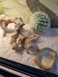 Dragon barbu avec terratium complet