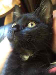 Lost black 6 month old kitten with bob tail.