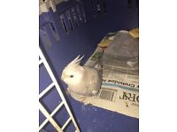 Grey Parakeet or Cockatiel found