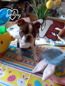 Red Boston Terrier Babies   (ONLY ONE LEFT)  (MALE)