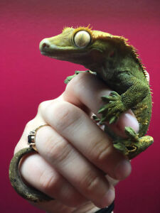 High Quality Crested Gecko Babies!