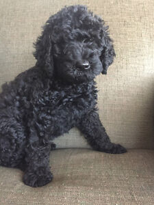 Labradoodle Puppies Non-Shedding