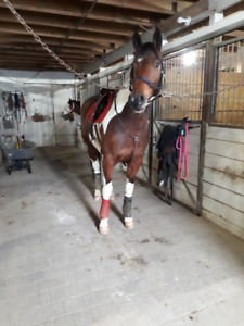 11 Year Old Gelding For Sale