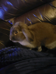 Grey Mini Lop 6 months old