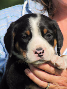 Grand Bouvier Suisse/Greater Swiss Mountain Dog