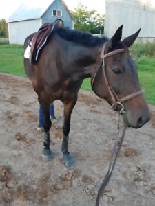 Lovely pony for lease or sale