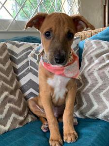 Rescue Puppy for Adoption! (Twinkie)