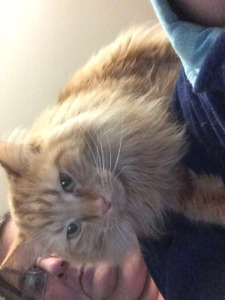 MISSING Orange long haired male cat