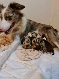Red merle and solid red border collie puppies