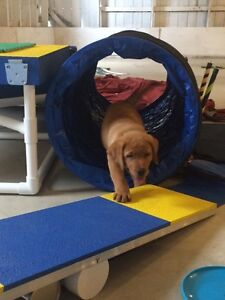 Puppy Obedience Class: S.T.A.R.T. Great Beginnings London Ontario image 4