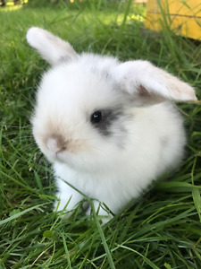 Baby Holland Lop Bunnies (10 available)