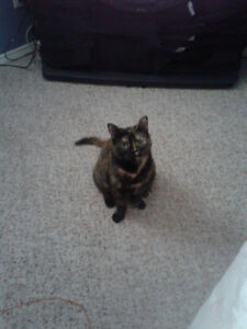 Lost torti cat. Vine & Lakeshore area.