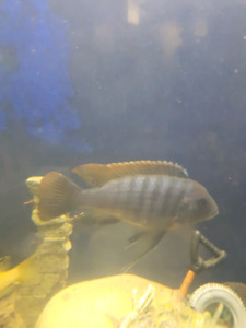 Yellow top zebra cichlid for sale or trade