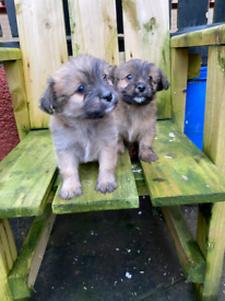 Pomeranian x Maltese puppies