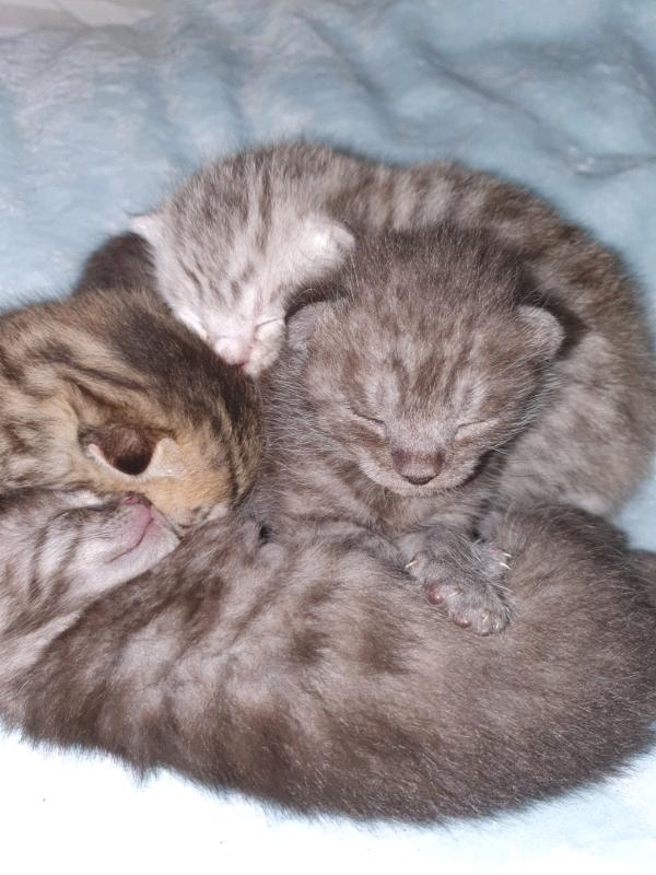 Bengal Kittens In Aspatria Cumbria Gumtree