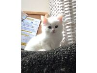 Ragdoll cross kitten forsale
