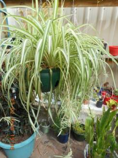 CHLOROPHYTUM COMOSUM - SPIDER PLANT