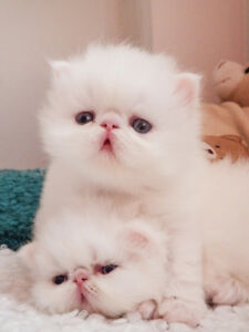 valentines day gifts - persian Kitten