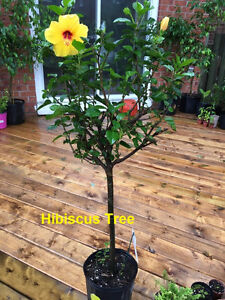 Flowering Hibiscus plants for sale