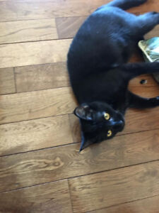 Lost Black Cat Very Friendly