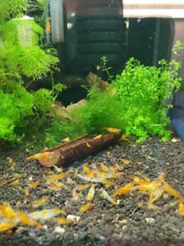 Neocaridina and Caridina shrimps - Tropical aquarium shrimps