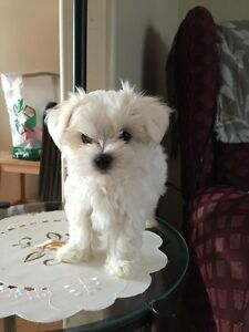 Beautiful  Tiny Female maltese    SOLD