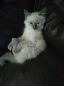 Ragdoll 3/4 British Shorthair 1/4 X kittens