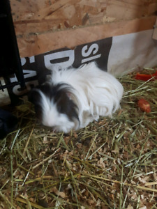 Two guinea pigs free