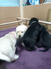 Pure bred Labrador retriever puppies.***only 2 black males left***