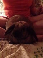 2.5 year old Holland Lop rabbit *NEGOTIABLE PRICE*