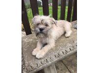 Lhasa Apso cross Westie girl pup for sale.