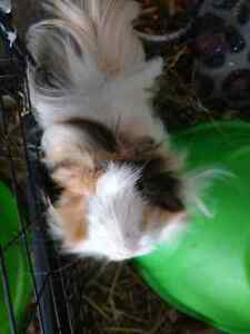 Free long haired guinea pig