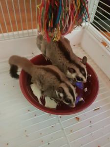 2 Sugar glider for sale + cage + accessories +food