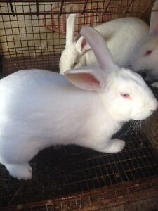 Rabbits-New Zealand Males Peterborough Peterborough Area image 3