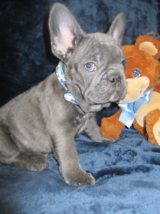 *RARE BLUE FRENCH BULLDOGS * HEALTHIEST PUPPIES