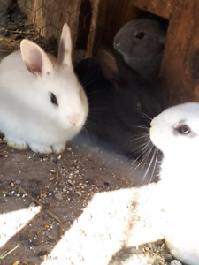 Rabbits/bunny's for sale