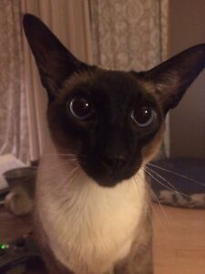 4 year old Siamese looking for forever home
