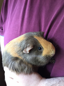 Guinea Pigs - Mother/Daughter as a pair with cages/food.