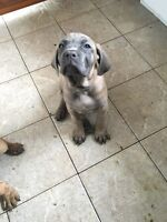 *******MASTIFF PUPPIES looking for their forever homes**********